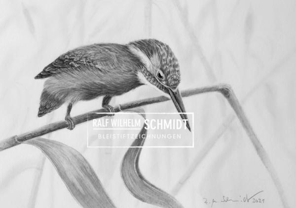 Eisvogel Felix, Zeichnung von Ralf Wilhelm Schmidt