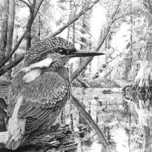 Eisvogel Bleistiftzeichnung
