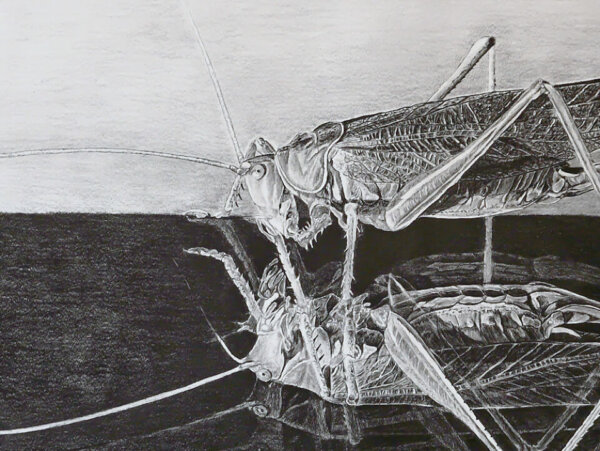 Bleistiftzeichnung Grashüpfer
