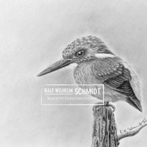 Eisvogel Clemens Zeichnung von Ralf Wilhelm Schmidt