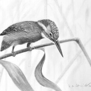Eisvogel Felix, Zeichnung von rws