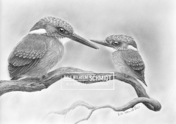 Eisvögel Zeichnung von Ralf Wilhelm Schmidt